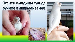 Брошенный птенец амадины гульда. Часть 3. Lady gouldian finch hand feeding