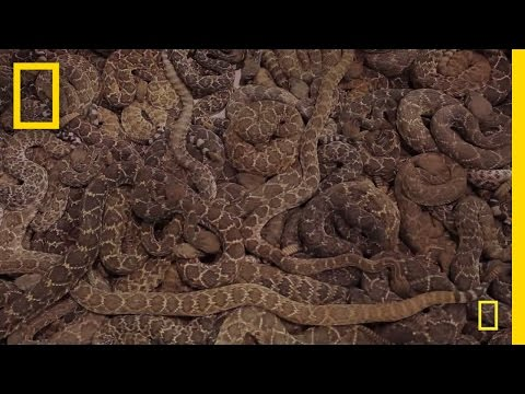 Rattlesnake Roundup   National Geographic