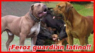 Esto pasa al CRUZAR un FILA BRASILERO con MASTÍN – Bullmastiff brasileiro