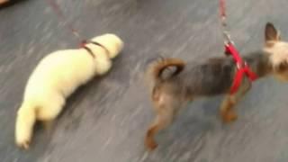 Viva Polecat Has Va-Va-Voom Time With Terriers