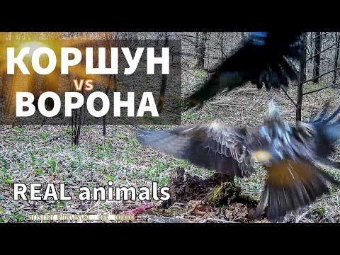 Коршун Vs Ворона - три раунда противостояния / Фотоловушка /REAL Animals