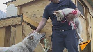 Клонированный щенок якутской лайки встретился со своим донором