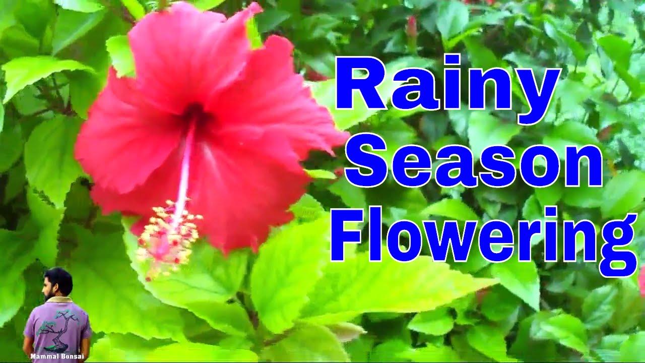flowers of the rainy flowers of the rainy seasonhibiscusjasmine 21st july 2017mammal bonsai dhlflorist Image collections