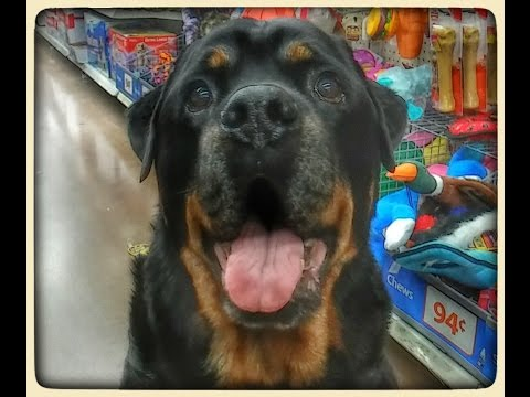 Rottweiler Picks Out Toy