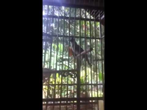 นกกรงหัวจุกลากหวาย เพลงใต้