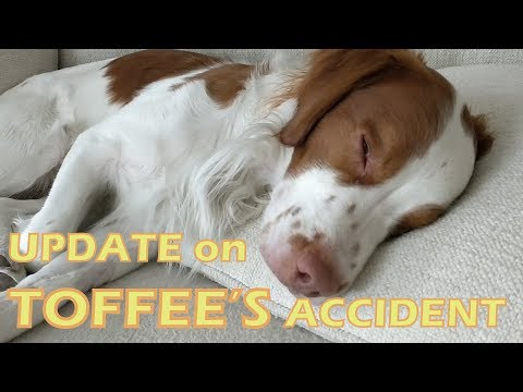 Toffee accident UPDATE | Brittany dog bite by Pit-bull