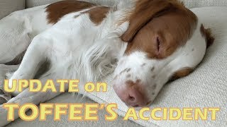 Toffee accident UPDATE   Brittany dog bite by Pitbull