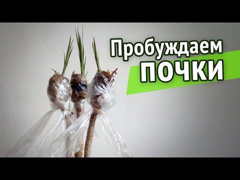 Драцена душистая - Драцена - Декоративно-лиственные