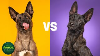 Belgian Malinois Vs Dutch Shepherd Difference  Which Breed Is Better?