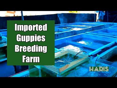 Imported Guppies Breeding Farm | Ornamental Fish Breeding Business
