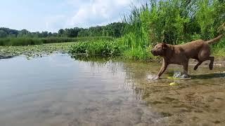 Chesapeake bay retriever cool down