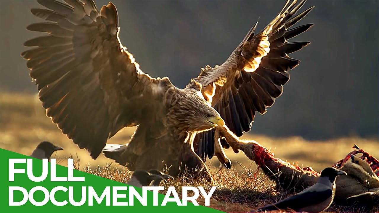Download The Sea Eagle - King of the Seas   Free Documentary Nature