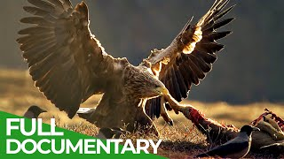 The Sea Eagle - King of the Seas | Free Documentary Nature