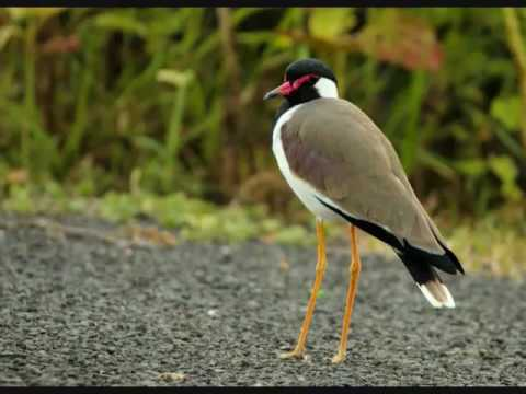 BIRDS OF WEST BENGAL EPUB DOWNLOAD