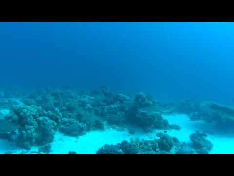 Diveworld Videos | Reef Shark at Shagra