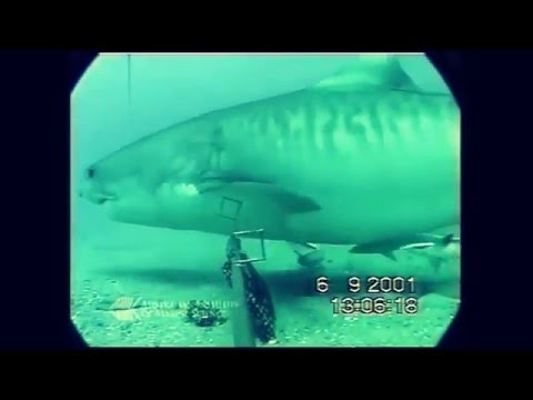 Huge Shark Goes In For The KILL! Great White Shark Fail!