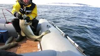 чем ловить треску в баренцевом море