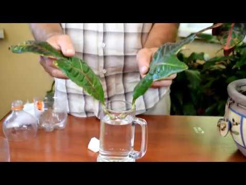 Укоренение и размножения КРОТОНА (листом) №2