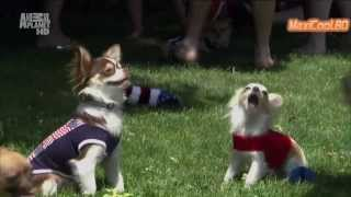 Чихуахуа. Порода собак. Dog breeds, funny, funny cats and dogs