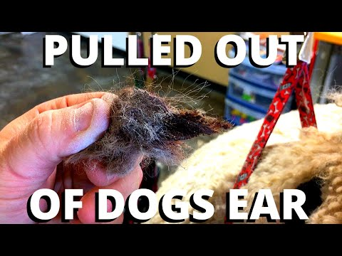 WORST EARS I'VE SEEN IN 10 YEARS | PLUCKING EAR HAIR