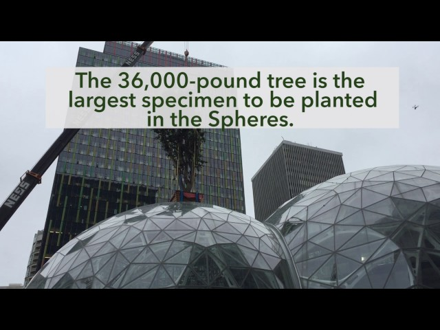 Watch: Giant tree is hoisted into the Amazon Spheres in