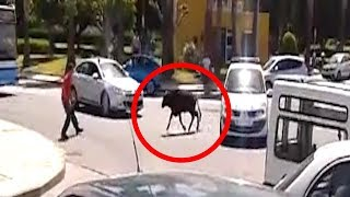 MAN FIGHTS BULL ON ROAD IN SPAIN