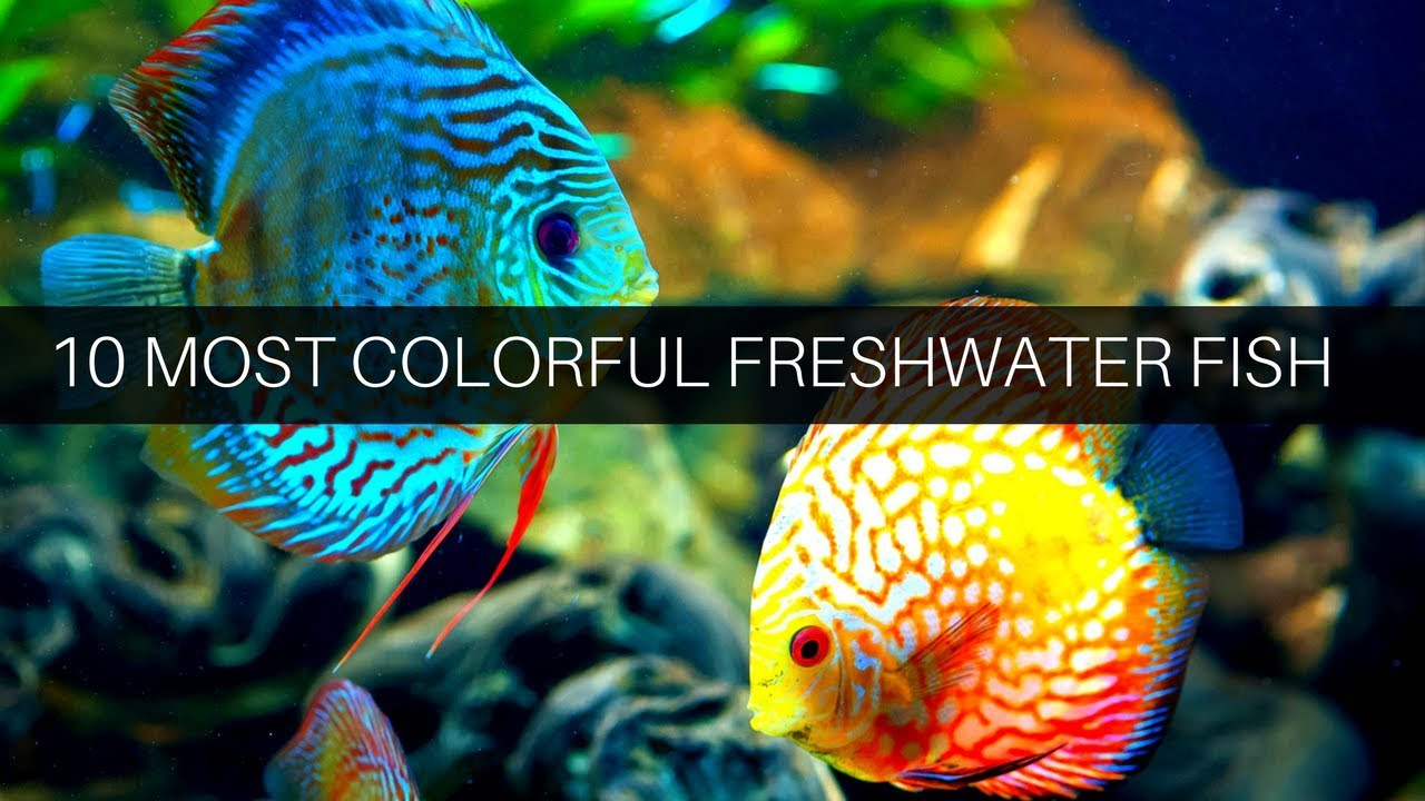Top 10 Colorful Freshwater Fish The Indian Fishkeeper Youtube