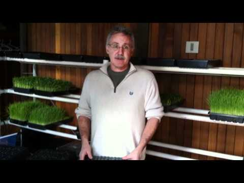 How To Grow Wheatgrass And Sprouts