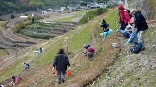 12月20日に小豆島町中山の千枚田に昔のようにいっぱい花を咲かせる...