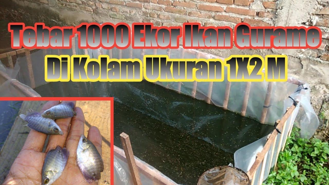 Tebar 1000 Ekor Ikan Gurame Di Kolam Plastik Ukuran 1 X 2 M Youtube