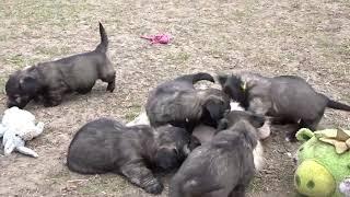 Skye Terrier puppies  born 2021/03/ part III.  School game