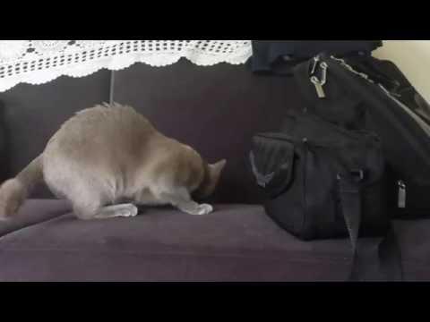 Burmese cat Sonia a new home member