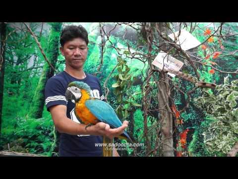 นกแก้วมาคอร์มิโมซ่าพัทยา