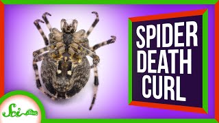 Why Do Spiders Curl Up When They Die?