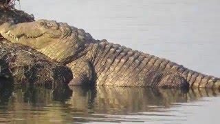 Crocodile spotted at Powai Lake (Mumbai)