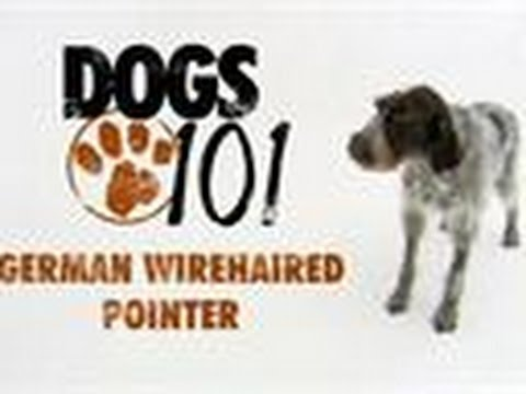 Dogs 101 - German Wirehaired Pointer
