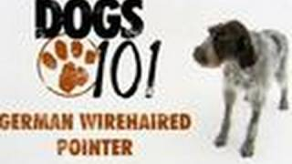 Dogs 101  German Wirehaired Pointer