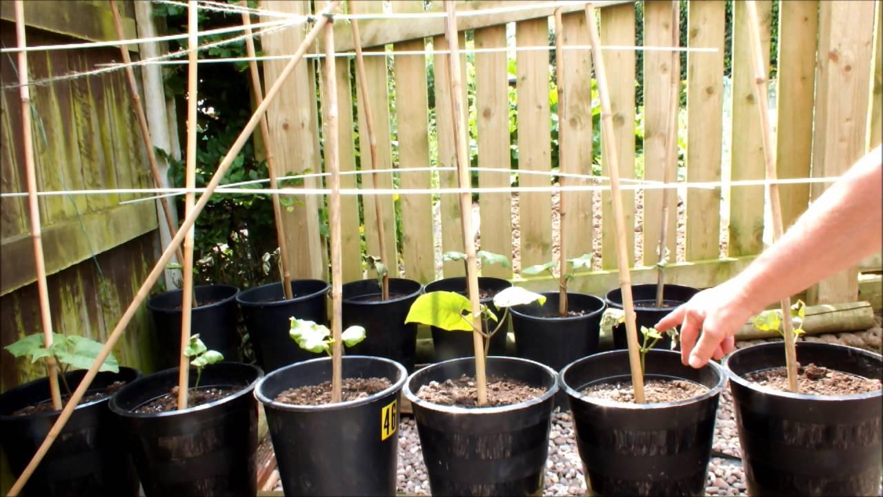 How to grow runner beans in pots in your own garden. - YouTube