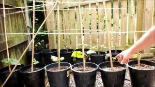How to grow runner beans in pots in your own garden.