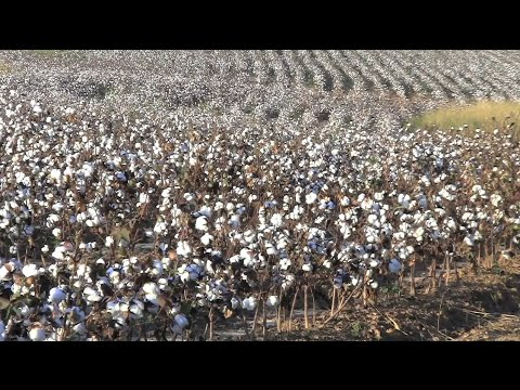 Cotton Industry Looks For Solution To Low Prices