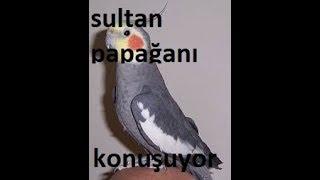 Sultan papağanı boncuk konuşmaya başladı papağanı konuştur