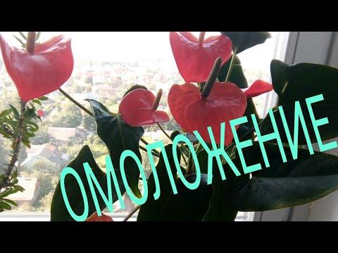 АНТУРИУМ ОМОЛОЖЕНИЕ старого куста  (размножение верхушечным черенком)/ Мои эксперименты!
