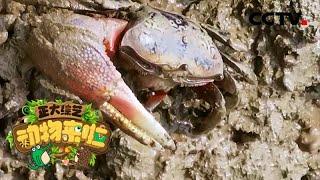 [正大综艺·动物来啦]招潮蟹遇到危险会抛弃自己的一只钳子  CCTV