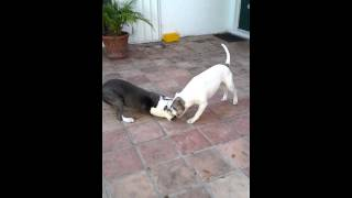 American Bulldog Vs Pitbull