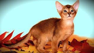 ❤️️ Такой ХОРОШЕНЬКИЙ Абиссинский КОТЕНОК 🐱 Маленький Рыжий КРАСАВЧИК | ПОРОДЫ Кошек