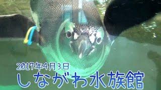 しながわ水族館で遊んできた記録です☆ すご~く遊びたがりなペンギン達...