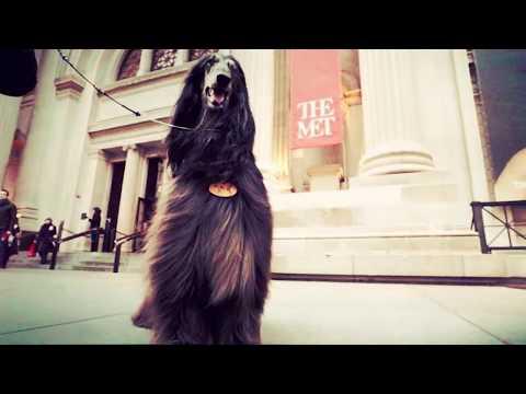 Westminster Kennel Club: Afghan Hound