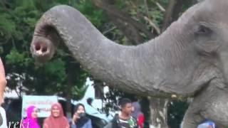 Gajah Pintar bermain bola joget dan main musik Banda Aceh
