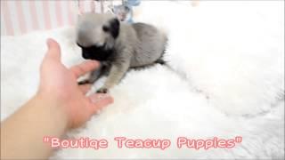 Adorable Mr. Brodie Micro Mini Pug For Sale