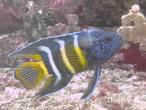 Eastern Blue Devil Fish - Paraplesiops Bleekeri